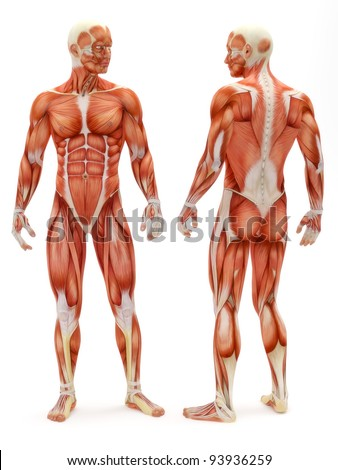 Male musculoskeletal system front and back isolated on a white background . Part of a muscle medical series. - stock photo