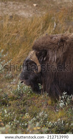 Male musk ox in arctic valley, Greenland - stock photo