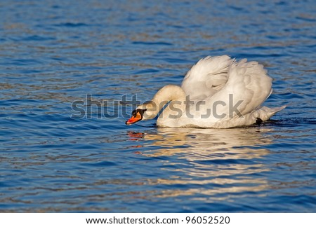 Male mute swan postures in evening light - stock photo
