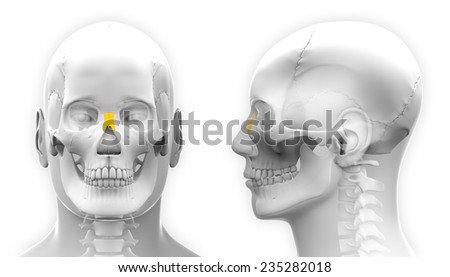 Male Nasal Bone Skull Anatomy - isolated on white - stock photo