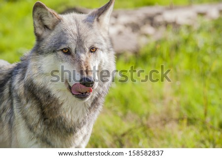 Male North American Gray Wolf, Canis Lupus, licking his lips