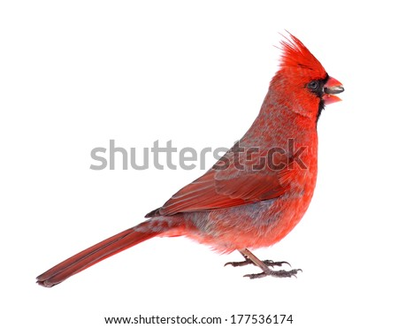 Male northern cardinal, Cardinalis cardinalis, eating a seed isolated on white - stock photo