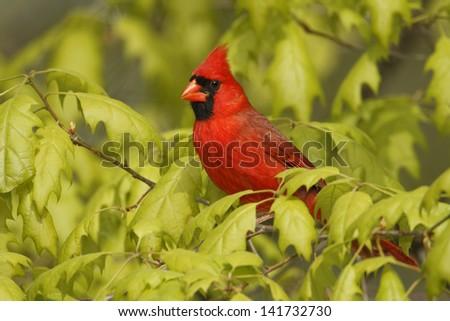 Male Northern Cardinal (Cardinalis cardinalis) perched in an oak tree - Grand Bend, Ontario - stock photo