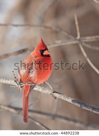 Male northern cardinal (Cardinalis cardinalis) perched on a branch