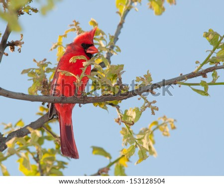 Male Northern Cardinal  in a tree in early spring - stock photo