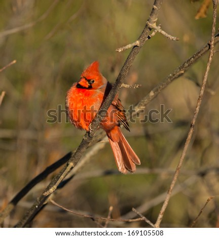 Male Northern Cardinal in Winter - stock photo