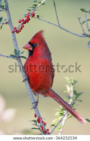Male Northern Cardinal in Yaupon Holly Tree - stock photo