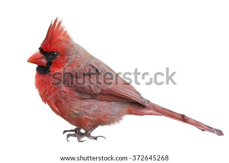 Male Northern Cardinal Isolated on White Background - stock photo