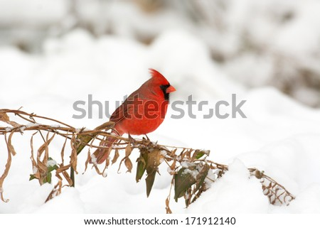 Male northern cardinal perched on a branch following a heavy winter snowstorm