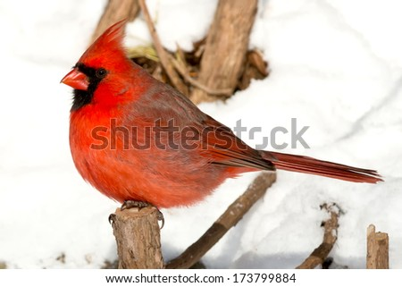 Male Northern Cardinal perched on a small tree stump. - stock photo