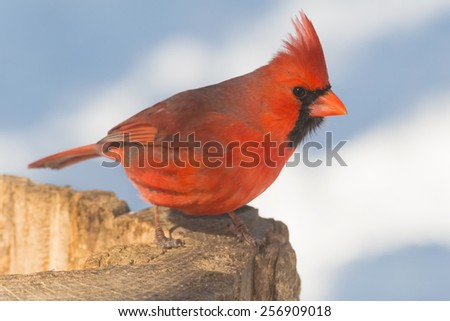 Male Northern Cardinal perched on a stump. - stock photo