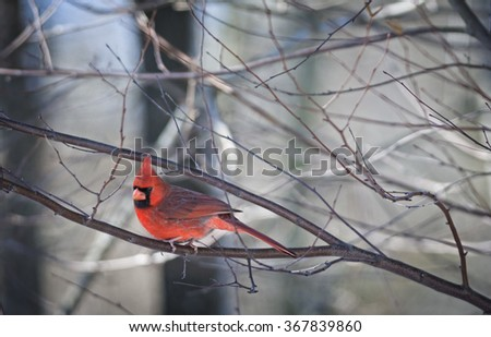 Male Northern Cardinal perched on tree branch on cold winter morning. - stock photo