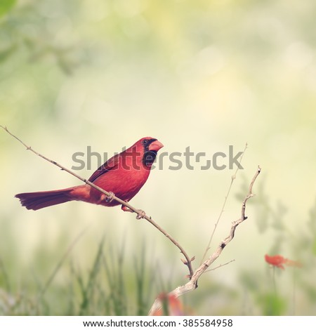 Male Northern Cardinal Perching on a Branch - stock photo