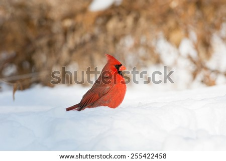 Male northern cardinal searching for sunflower seeds in the snow following a winter storm