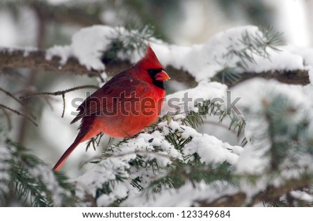 Male northern cardinal sitting in an evergreen tree following a winter snowstorm - stock photo