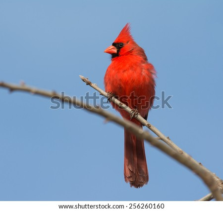 Male Northern cardinal surveying landscape from a treetop - stock photo