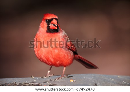 Male Northern cardinal with birdseed