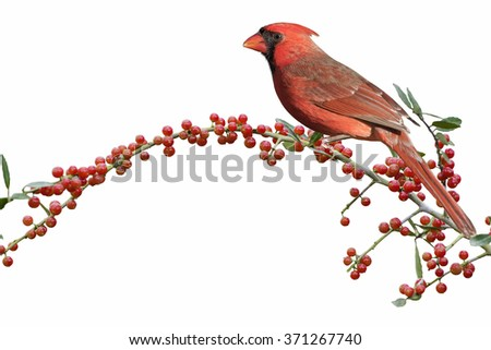 Male Northern Cardinal with Red Berries - stock photo