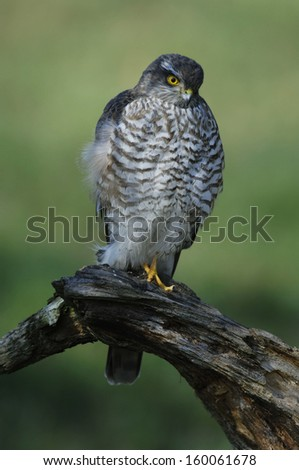 male Northern Sparrow Hawk