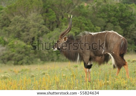 Male nyala antelope standing among yellow flowers - stock photo