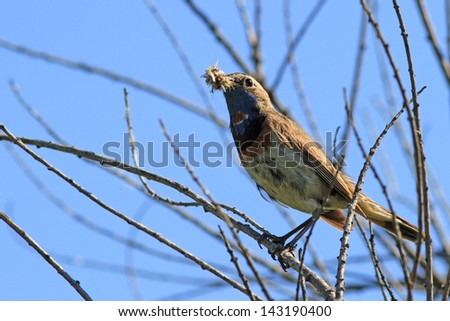 Male of a Blue-throat with a forage - stock photo