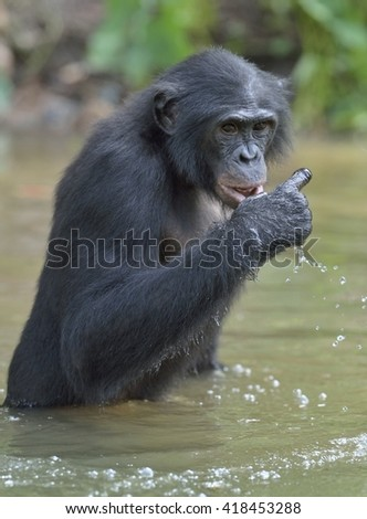 Male of a Bonobo standing in water looks for the fruit which fell in water. Bonobo ( Pan paniscus ). Democratic Republic of Congo. Africa  - stock photo
