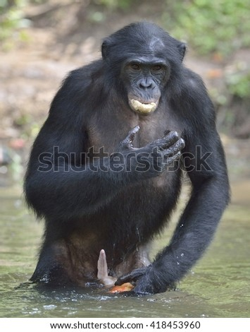 Male of a Bonobo standing in water looks for the fruit which fell in water. Bonobo ( Pan paniscus ). Democratic Republic of Congo. Africa