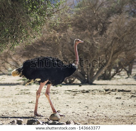 Male of African ostrich (Struthio camelus) in Israeli national reserve park