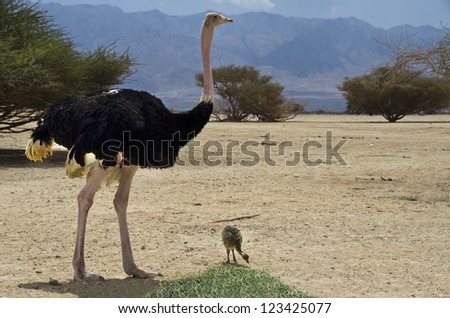 Male of African ostrich (Struthio camelus) with a young chick in Israeli nature reserve park, 35 km north of Eilat