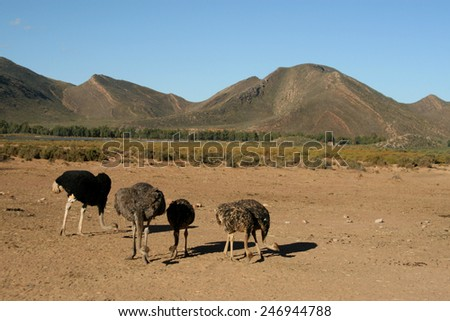 Male of African ostrich (Struthio camelus) with young chicks in Israeli nature reserve park, 35 km north of Eilat - stock photo