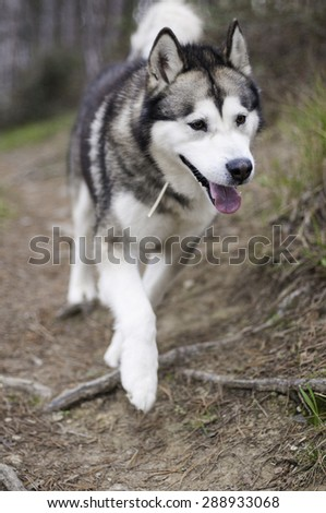 Male of Alaskan Malamute walking out of the forest - stock photo