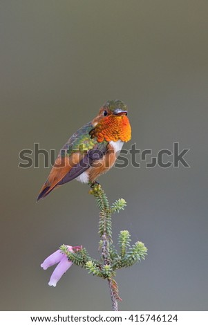 Male of Allen's Hummingbird, Selasphorus sasin, orange and green small bird from Southern California flower on twig with green background, nature habitat in botanical garden in Santa Cruz - stock photo