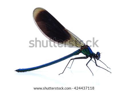 Male of Beautiful demoiselle (Calopteryx virgo) isolated on white background - stock photo