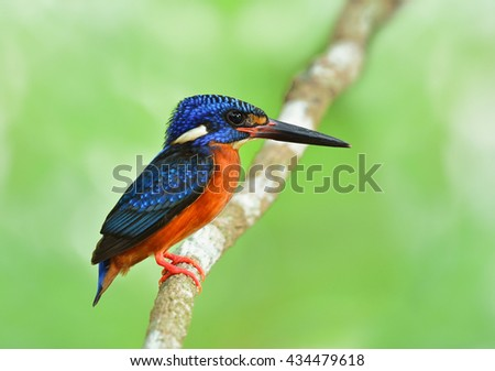 Male of Blue-eared kingfisher (Alcedo meninting) the tiny beautiful blue bird perching on the branch on green blur background
