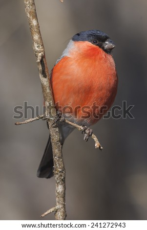 Male of bullfinch (Pyrrhula pyrrhula) on a tree
