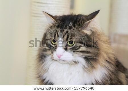 male of cat, siberian breed - stock photo