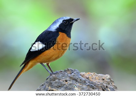 Male of Daurian Redstart (Phoenicurus auroreus) the beautiful orange belly with black face and wing and silver head standing on the rock on nice green blur background - stock photo