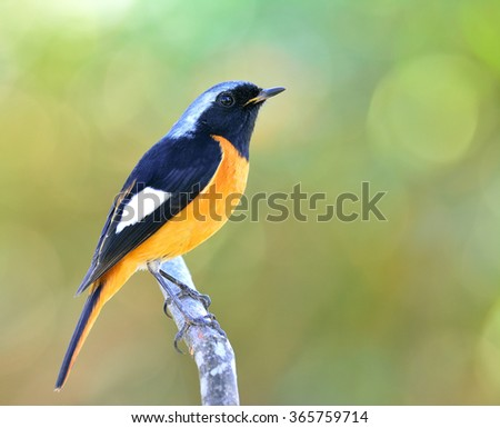 Male of Daurian Redstart (Phoenicurus auroreus) the beuatiful bird with black face and wings silver head and orange belly perching on the branch with nice blur green background and bokeh - stock photo