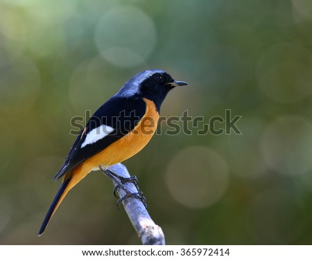 Male of Daurian Redstart (Phoenicurus auroreus) the beuatiful bird with black face and wings silver head and orange belly perching on the branch with nice blur bokeh and green background - stock photo