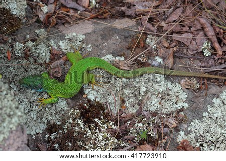 Male of european green lizard (Lacerta viridis). Closeup - stock photo
