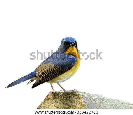 Male of Hill Blue Flycatcher (Cyornis banyuma) the beautiful bluebird standing on the rock isolated on white background - stock photo