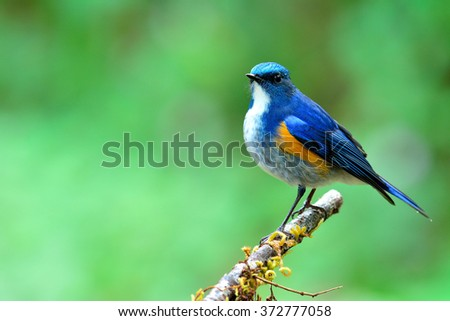 Male of Himalayan Bluetail (tarsiger rufilatus) the beautiful blue bird fully standing on the branch looking up sky with green blur background - stock photo