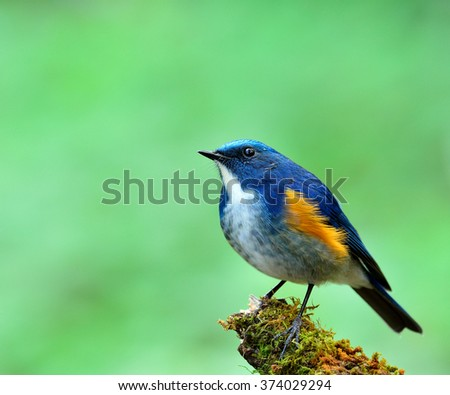 Male of Himalayan Bluetail (tarsiger rufilatus) the beautiful blue bird fully standing on the mossy branch showing its chest feathers looking up with green blur background - stock photo