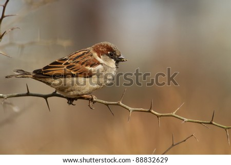 Male of House Sparrow, Passer domesticus, in winter plumage resting