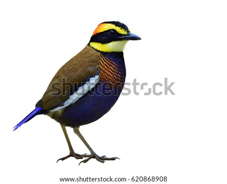 Male of Malayan Banded Pitta (Hydrornis guajana) colorful dark blue with brown back, white stripe wings and fire head bird isolated on white background