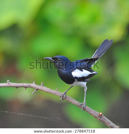 Male of Oriental Magpie Robin, the beautiful black and white bird perching the branch   - stock photo