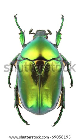 Male of Protaetia aeruginosa isolated on white background.