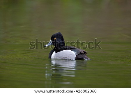 Male of Ring-necked Duck, Aythya collaris on small pond in San Francisco Golden Gate Park - stock photo