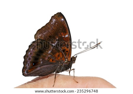 Male of siamese black prince butterfly on finger with clipping path - stock photo