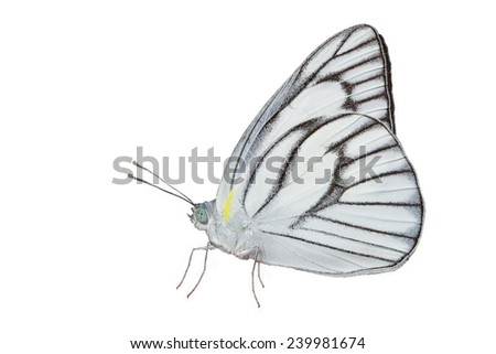 Male of stripped albatross butterfly isolated with clipping path - stock photo